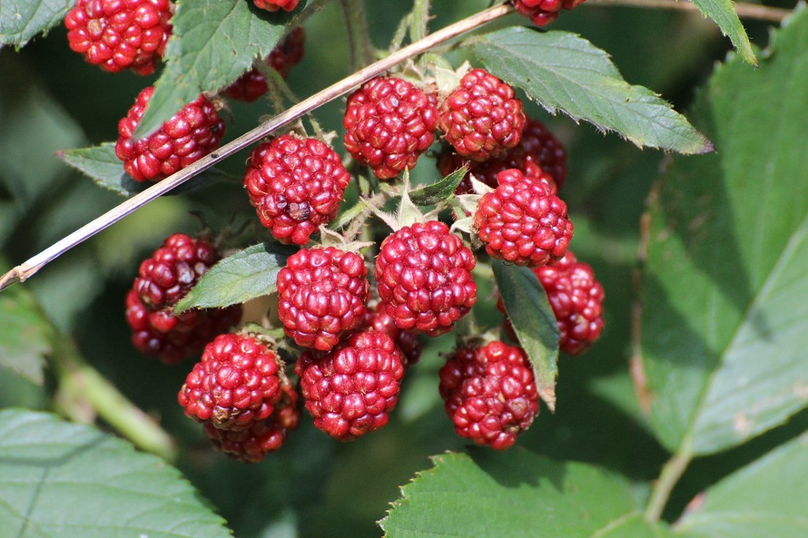 blackberries-rubus-sectio-rubus-fruits-berries-48156-large