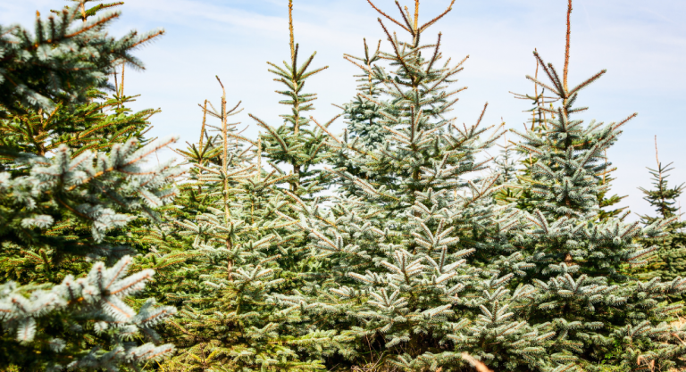 Christmas Tree Farm Guide | Greater Madison Area